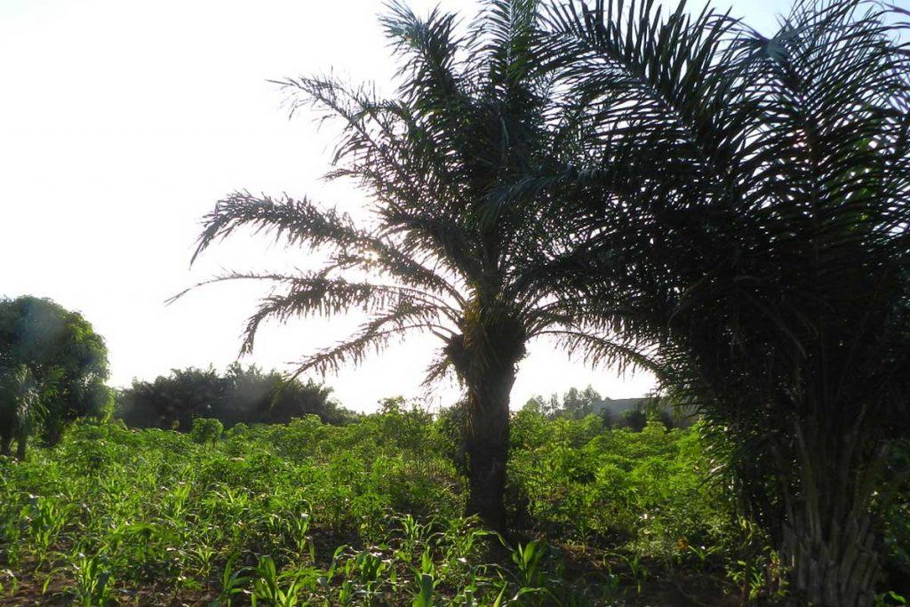 Palme in Togo